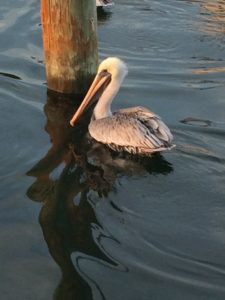 Opportunistic pelican waits for the return of each vessel